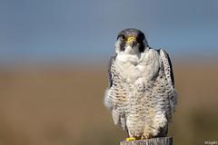 Faucon pèlerin (gilbert.calatayud) Tags: falcoperegrinus falconidés falconiformes fauconpèlerin peregrinefalcon bird oiseau delta de l ebre catalogne espagne