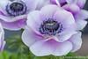 Anemoon (Chantal van Breugel) Tags: 2018 bloemen lente macro anemoon bolbloem april canon5dmark111 canon100mm