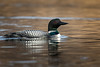Common Loon-47941.jpg (Mully410 * Images) Tags: commonloon avian birding coonrapidsdam bird birds birdwatching birder loon nationalpark mississippinationalriverrecreationarea waterfowl