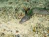 Spotted Moray (R. Donald Winship Photography) Tags: aquaticlife cozumel divingunderwater scubaclubcozumelhousereef spottedmoray
