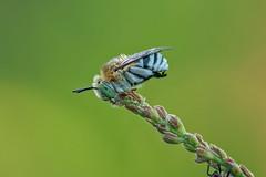 Too focused (affectatio) Tags: macro sony sigma a7rii a7r2 150mm bee bluebandedbee nativebee australiannativebee focusstack zerene zerenestacker naturallight sleepingbee sleeping roostingbee roosting