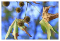 Autumn seeds (explored) (Greenstone Girl) Tags: flowers oak leaves berriesl autumn oakleigh warraweepark