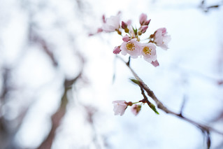 The cherry-blossoms are opening.