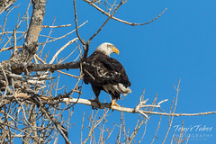 Male Bald Eagle hanging out at home
