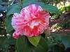 Camellia (BudCat14/Ross) Tags: camellias gardens flowers floral california ca pasadena