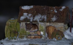 wild Wood mouse in a little garden house (1) (Simon Dell Photography) Tags: minibeastfromtheeast itvweather bbcwthrwatchers bbcweather jessopsmoment bbccountryfile bbcspringwatch sheffieldstar harrisoncameras wildlifemag sheffieldparknt wildsheffield parkssheffield wood mouse wild cute borrower house mini cottage model home english country garden snow 2018 march spring wildlife nature animal rodent simon dell photography stone hut micro funny awesome stunning night 3am morning low light pentax dslr