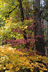 TriColour (peterkelly) Tags: digital canon 6d ontarionature caledon ontario canada northamerica willoughbynaturereserve fall autumn forest trees tree