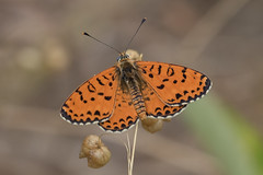 (Explore) Spotted Fritillary (Melitaea didyma) (Ron Winkler nature) Tags: vlinder butterfly insect insects arthropod tuscany italy europe canon 100400ii macro animal wildlife nature 7dii explore explored