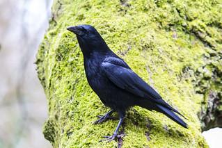 Crow  (Explored)