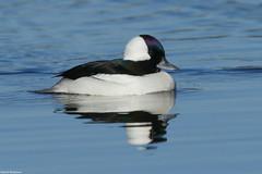 Bufflehead - Mar-10-2018 (28-1) (JPatR) Tags: 2018 bufflehead burnidge burnidgeforestpreserve illinois march bird duck nature wildlife winter