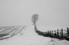 Blizzard Tree v5 (Craig Hemsath) Tags: winter iowa panasonic mirrorless microfourthirds micro43 snow snowstorm blackwhite black white tree field corn leading lines portrait