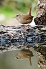365 - Image 85 - Wren Reflection... (Gary Neville) Tags: 365 365images 5th365 photoaday 2018 sony sonyrx10iv rx10iv rx10m4 m4 garyneville bird