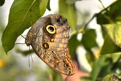Farfalla 4 (Maurizio Belisario) Tags: farfalla butterfly animali animals volo fly ali