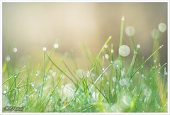 Dew. (mianpascual) Tags: orestor meyer optik gorlitz 135mm dew rocio hierba grass