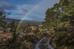 Rainbow (prajpix) Tags: rainbow covenant track road path puddles dulnain strathspey invernesshire highlands scotland pine pinewood pinewoods forest woodland tree trees caledonian ancient nature juniper rain shower weather