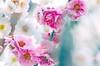 Ume blossom-04 (itsuo.t) Tags: ume umeblossom umegarden umetrees 梅の花 梅公園 世界の梅公園