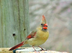 ~ What a Pretty Girl  ...... (~ Cindy~) Tags: femalecardinal prettygirl backyardvisitor eatingbirdseed tennessee birds