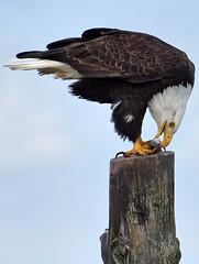 Got one! (pic 1 of 2) (Snixy_85) Tags: eagle baldeagle herring qualicumbeach haliaeetusleucocephalus