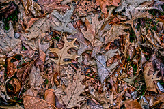 March of Leafs (haidarism (Home Sweet Home)) Tags: winter spring march nature leaf outdoor sonya7ii sigma105mm macro macrophotography create creation creative abstract