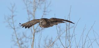 Great Gray Owl  9122