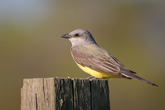 Western Kingbird (Becky Matsubara) Tags: avian bird birds flycatcher kingbird nature outdoors sanluisnationalwildliferefuge sanluisunit tiranopálido tyrandelouest tyrannusverticalis tyrantflycatcher weki westbearcreekunit westernkingbird wildlife
