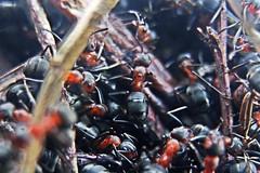 Rote Waldameise, NGIDn1141140147 (naturgucker.de) Tags: ngidn1141140147 naturguckerde rotewaldameise formicarufa 915119198 249020854 1962332845 cboriskarlholgerschnebele