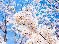 Sakura (紅襪熊(・ᴥ・)) Tags: sakura 櫻 櫻花 cherryblossoms pink flower flowers blossom blossoms castle cherry cherryblossom cherryblossomfestival cherrytree cherrytrees garden light macro nature park plant sky spring travel tree trees white さくら サクラ 春 桜 花 花見 賞櫻 日本 japan 粉 粉紅 bokeh olympus omd em1 m43 micro43 microfourthirds olympusem1 錦帶橋
