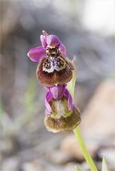 Orquideas 2018.4 (jumoga2011) Tags: ophrys orquideas silvestres orchidaceae heraultii canon7d canon60mm flors flora flores macro macrografia tarragona catalunya jumoga2011