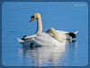 ΚΥΚΝΟΙ ΣΕ ΠΕΡΙΟΔΟ ΖΕΥΓΑΡΩΜΑΤΟΣ - Εθνικό Πάρκο Δέλτα Αξιού (Spiros Tsoukias) Tags: hellas thessaloniki θεσσαλονίκη καλοχώρι γαλλικόσ αξιόσ λουδίασ αλιάκμονασ δέλτααξιού ελλάδα μακεδονία εθνικόπάρκο λιμνοθάλασσα ποτάμια κύκνοι κύκνοσ θάλασσα πουλιά greece macedonia nationalpark lagoon rivers swans swan sea birds grecia parconazionale laguna fiumi cigni mare uccelli grèce macédoine parcnational lagune rivières cygnes cygne mer oiseaux griechenland mazedonien flüsse schwäne schwan meer vögel греция македония национальныйпарк лагуна реки лебеди море птицы yunanistan makedonya millipark lagün nehirler kuğular kuğu deniz kuşlar
