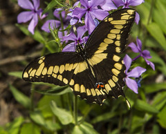 Giant Swallowtail (Papilio cresphontes) (AllHarts) Tags: giantswallowtailpapiliocresphontes wonderlandphlox spac hollyspringsms naturescarousel challengeclubchampions