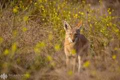 I'll be Watching You (Brian Knott Photography) Tags: bolsachica reserve wetlands california wildlife coyote dog wilddog forest desert brush scrubs flowers depth dof obstructed view looking sunset sunrise afternoon morning day daytime light hunting stalking standing
