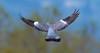 Ringeltaube / Common Wood Pigeon / Ringdue (jaaserud13) Tags: bif bodensee josteinaaserud nikond500 rheindelta ringeltaubecommonwoodpigeonringdue