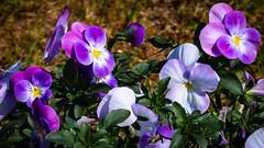 Im eigenen Garten (Doblinus) Tags: sonya6500 blüten frühling helios44m6 sony schleswigholstein handewitt blumen