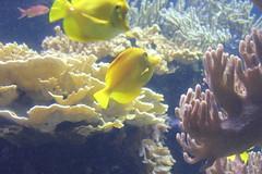 IMG_6239 (avsfan1321) Tags: maryland aquarium baltimore baltimoreaquarium usa unitedstates unitedstatesofamerica fish yellow yellowtang tang coral