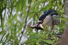 (seanasasnett) Tags: fish floridawildlife wildlife nature florida birds birding nightheron heron blackcrownednightheron