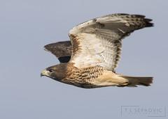 Red-tailed Hawk (T L Sepkovic) Tags: redtailedhawk rth raptor hawk birdsofprey