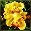 Yellow. #Usbg #botanicgarden #goodgarden #dcgarden #nationalgarden #washingtondc #dc #dclife #downtown #iphone #iphone365 #iphone7plus #iPhonemacro #macro  #flower #flowersofinstagram #downtown #dclife  #nationalmall #nationalparks (Kindle Girl) Tags: iphone7plus nationalparks usbg botanicgarden goodgarden dcgarden nationalgarden washingtondc dc dclife downtown iphone iphone365 iphonemacro macro flower flowersofinstagram nationalmall