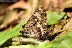 4198-9.jpg (laba laba) Tags: charaxes etesipe charaxesetesipe buttefly insect macro closeup rainforest nature africa cameroon cameroun kribi mabenanga