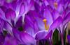 Crocus 3 (johnm2205) Tags: garden spring florafauna flowersplants crocus purple flower orange windowbox