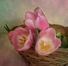 In The Pink (maureen bracewell) Tags: flowers spring stilllife tulips basket pink digitalart texture bokeh nature maureenbracewell cannon closeup