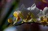 orchid abstraction (marinachi) Tags: orchid yellow white flower flowers closeup macro sundaylights saveearth