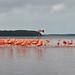 Mexico - Yucatan - Celestun - flamingos