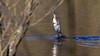 054.3 Aalscholver-20180319-J1803-5O6A5186 (dirkvanmourik) Tags: aalscholver aves bakkumnoord castricum duinmeer duinreservaat greatorwhitebreastedcormorant nederland noordholland phalacrocoraxcarbo vogel bird pike esoxlucius snoek