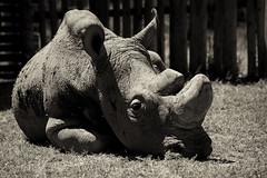 RIP, Sudan (Christopher J May) Tags: red northernwhiterhinoceros rhino sudan extinction olpejetaconservancy kenya nanyuki africa nikond800 nikonafnikkor80200mmf28d explore explored