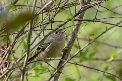 Ruby-crowned Kinglet - Cottonwood Trail, SC (hmthelords) Tags: cottonwoodtrailsc