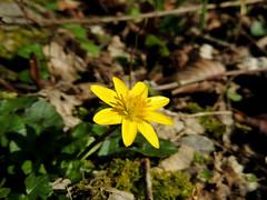 Ficaria ranunculoides (M.L Photographie) Tags: fleur flower nature naturelover spring printemps ficaire macro