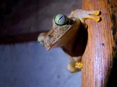 . (pedrovernet) Tags: rana frog venezuela biodiversidad animal fauna wildlife