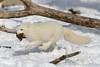 Arctic Fox (pxr57) Tags: sainteannedebellevue québec canada ca arctic fox nikon d600 eco zoo arcticfox