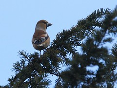 Female Hawfinch in yew tree II (glostopcat) Tags: hawfinch finch bird winter glos yewtree snow sandfordpark cheltenhamspa