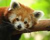 Red Panda (Renee Wood) Tags: redpanda minnesotazoo animal resting furry comfortable redbearcat himalayas ailurusfulgens redcatbear endangeredspecies